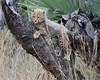 Cheetah Phinda South Africa-29