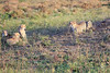 Cheetah_Adventure_Phinda_2016_0106