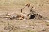 Cheetah_Feast_Mara_Kenya_Asilia_20150103
