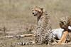 Cheetah_Feast_Mara_Kenya_Asilia_20150243