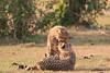 Cheetah_Cubs_Mara_Kenya_Asilia_20150217