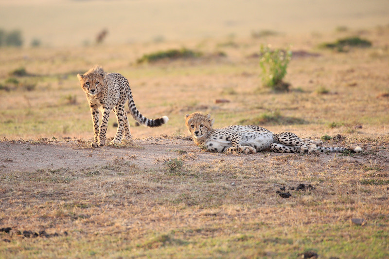 Cheetah_Cubs_Mara_Kenya_Asilia_20150114