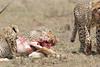 Cheetah_Feast_Mara_Kenya_Asilia_20150267