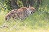 Cheetah_Mara_Asilia_Kenya0063