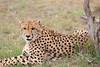 Cheetah_Mara_Asilia_Kenya0012