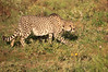 Cheetah_Adventure_Phinda_2016_0010
