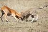 Cheetah_Feast_Mara_Kenya_Asilia_20150178