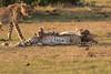Cheetah_Cubs_Mara_Kenya_Asilia_20150181