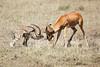 Cheetah_Feast_Mara_Kenya_Asilia_20150184