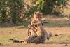 Cheetah_Cubs_Mara_Kenya_Asilia_20150216
