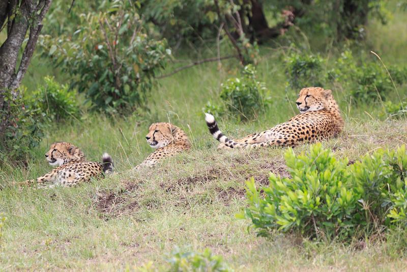 Cheetah_Mara_Asilia_Kenya0001
