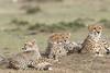 Cheetah_Family_Portraits_Mara_Kenya_Asilia_20150033