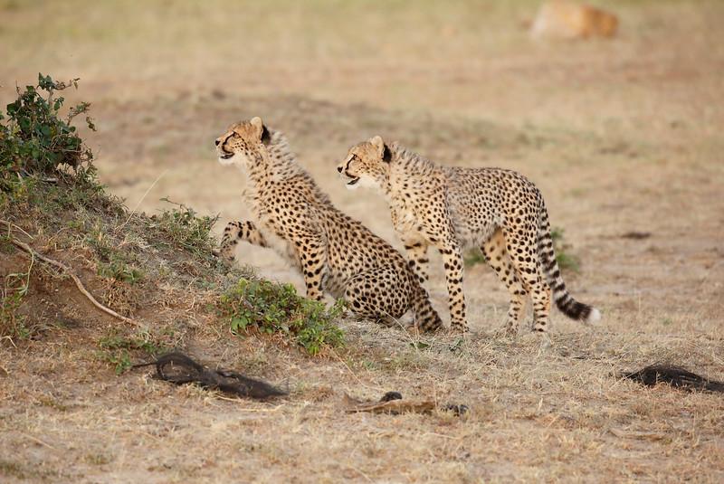 Cheetah_Cubs_Mara_Kenya_Asilia_20150165