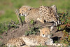Cheetah_Family_Phinda_2016_0150