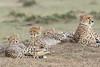 Cheetah_Family_Portraits_Mara_Kenya_Asilia_20150043