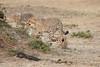 Cheetah_Cubs_Mara_Kenya_Asilia_20150147
