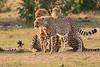 Cheetah_Cubs_Mara_Kenya_Asilia_20150238