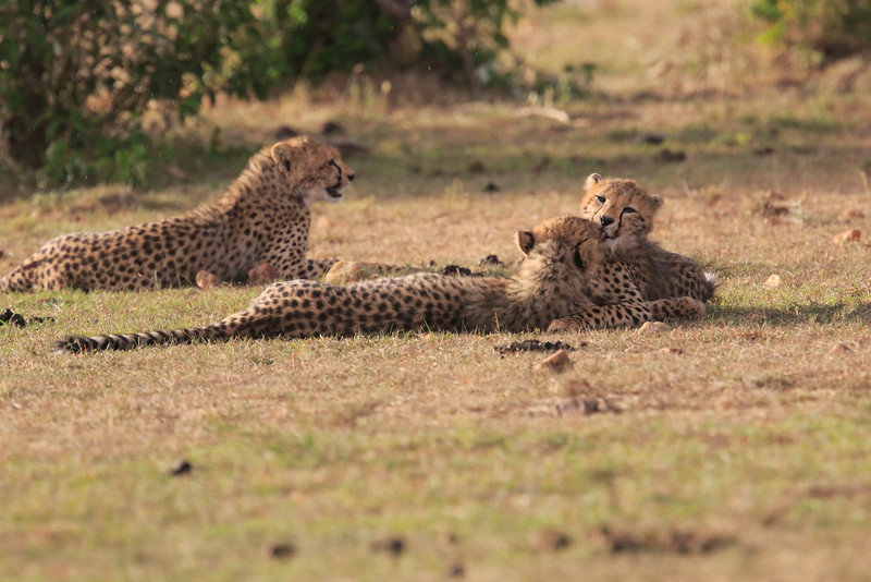 Cheetah_Cubs_Mara_Kenya_Asilia_20150274