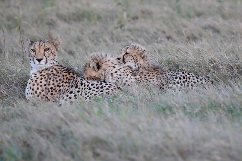 Cheetah_Family_Phinda_2016_0071