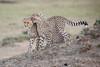 Cheetah_Cubs_Mara_Kenya_Asilia_20150118