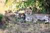 Cheetah_Cubs_Mara_Kenya_Asilia_20150047