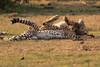 Cheetah_Cubs_Mara_Kenya_Asilia_20150176