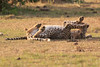 Cheetah_Cubs_Mara_Kenya_Asilia_20150292