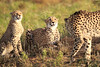Cheetah_Adventure_Phinda_2016_0036