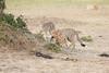 Cheetah_Cubs_Mara_Kenya_Asilia_20150143
