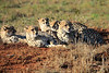Cheetah_Family_Phinda_2016_0001