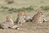 Cheetah_Family_Portraits_Mara_Kenya_Asilia_20150025