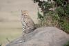 Cheetah_Cubs_Mara_Kenya_Asilia_20150120