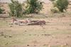 Cheetah_Cubs_Mara_Kenya_Asilia_20150103