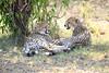 Cheetah_Cubs_Mara_Kenya_Asilia_20150101