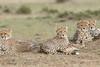 Cheetah_Family_Portraits_Mara_Kenya_Asilia_20150032