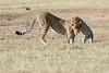 Cheetah_Cub_Playing_Mom_Mara_Kenya_Asilia_20150004