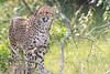 Cheetah_Mara_Asilia_Kenya0067