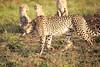 Cheetah_Adventure_Phinda_2016_0046