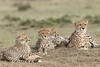 Cheetah_Family_Portraits_Mara_Kenya_Asilia_20150029