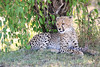 Cheetah_Cubs_Mara_Kenya_Asilia_20150033