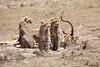Cheetah_Feast_Mara_Kenya_Asilia_20150024