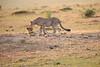 Cheetah_Cubs_Mara_Kenya_Asilia_20150108