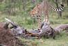 Cheetah_Mara_Asilia_Kenya0008