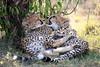 Cheetah_Cubs_Mara_Kenya_Asilia_20150084