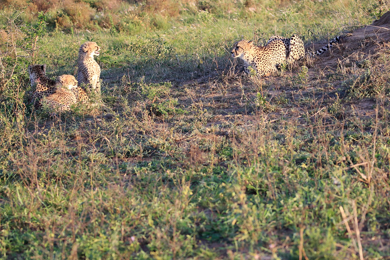 Cheetah_Adventure_Phinda_2016_0109