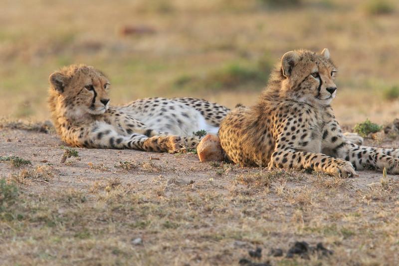 Cheetah_Cubs_Mara_Kenya_Asilia_20150257
