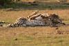 Cheetah_Cubs_Mara_Kenya_Asilia_20150177