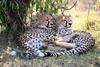 Cheetah_Cubs_Mara_Kenya_Asilia_20150100