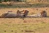 Cheetah_Cubs_Mara_Kenya_Asilia_20150198
