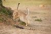 Cheetah_Cubs_Mara_Kenya_Asilia_20150169